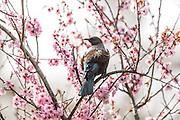 Tui and Cherry Blossom tree, New Zealand