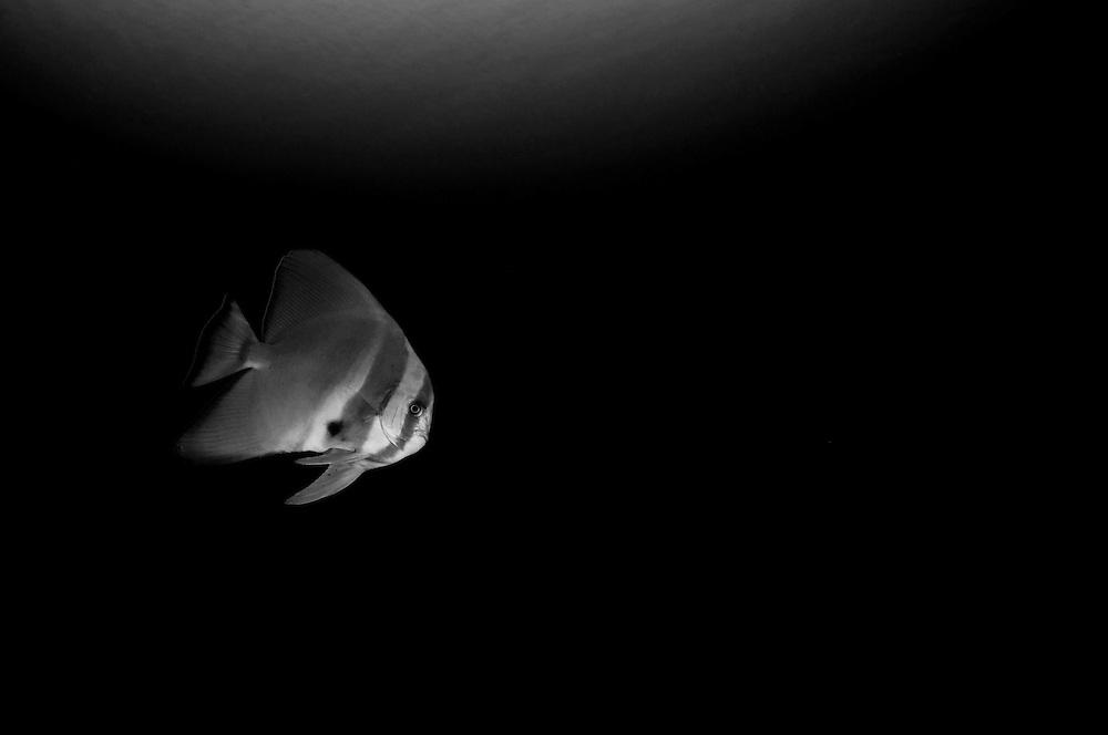 Batfish underwater in black and white.