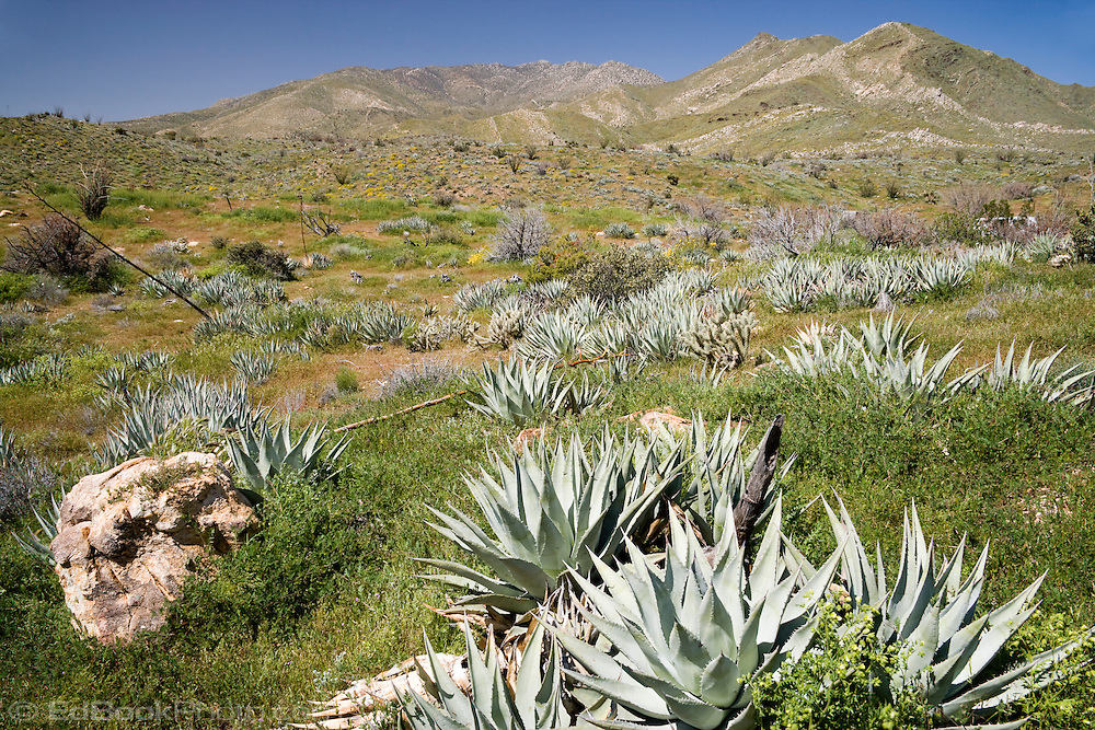A group of Agave plants (Agave Americana) also known as Century Plant and Aloe in the Anza-Borrego Desert, California, USA