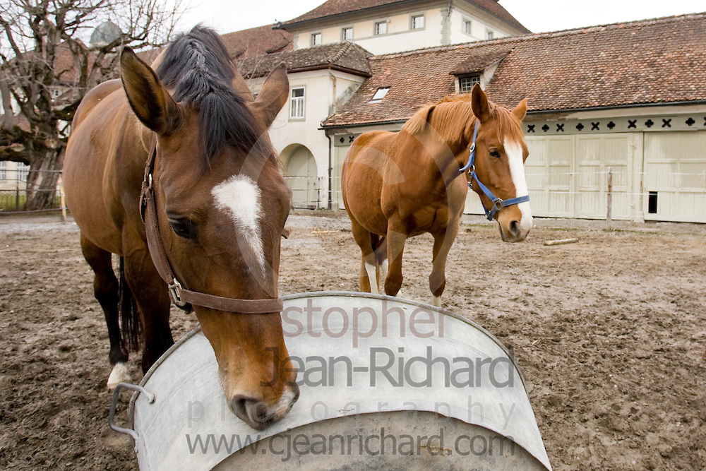 """Einsiedler horses at the Benedictine Abbey of Einsiedeln, Switzerland...Horse breeding in Switzerland can be traced back to AD 934 to the monastery. The stables of Einsiedeln Abbey are considered the oldest and best preserved stud farm in Europe...The Einsiedler was once known as """"cavalli della Madonna""""."""