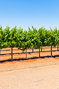 grape vines on a vineyard near Merbein South, Victoria, Australia
