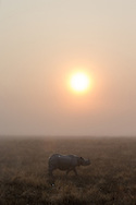 Greater One-horned rhinoceros, Kaziranga National Park, India