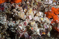 The body of the crab is in the centre of the images, the head to the top. Padangbai, on Bali's east coast, is one of the islands most convenient dive spots.  The strong currents that flow between Bali and Lombok produce strong upwellings of cold, nutrient rich water, perfect conditions for marine life and in particular, filter feeders such as sponges and crinoids.  The best dive sites are located around several rocky islands just offshore, but dive operators based in Padangbai also run trips across to Nusa Penida and Lembongan.