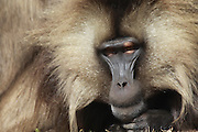 Africa, Ethiopia, Simien mountains, Gelada monkeys Theropithecus gelada. Close up of a male