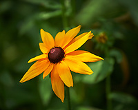 Black-eye Susan. Image taken with a Nikon Df camera and 70-300 mm VR lens (ISO 800, 300 mm, f/5.6, 1/1250 sec).