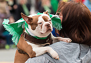Goshen, New York - Valerie Thompson of Savannah, Ga., holds her Boston Terrier Archer during the 40th annual Mid-Hudson St. Patrick's Parade on March 13, 2016.