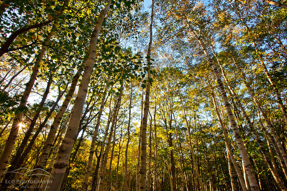 Paper birch trees in Maine's Acadia National Park. Fall.