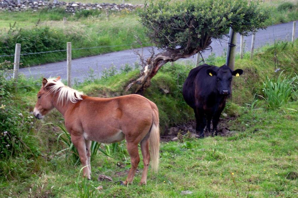 Europe, Ireland. Farm horse and cow in Ireland.