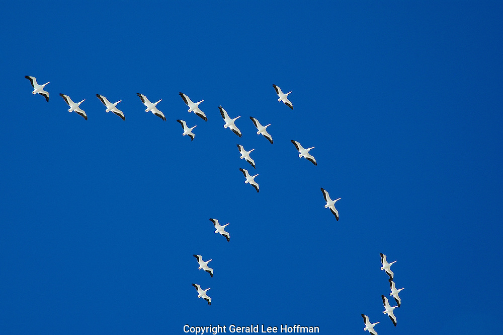 White Pelicans in flight over Sanibel Island, Florida.