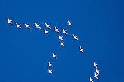 White Pelicans in flight over Sanibel Island, Florida.