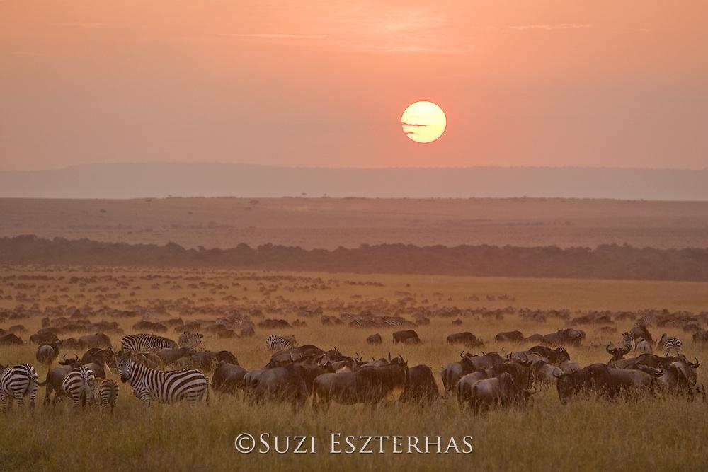 Wildebeest<br /> Connochaetes taurinus<br /> At sunset<br /> Masai Mara Reserve, Kenya