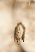 Pupates hatches into an adult fly (Arachnocampa luminosa). Adult Arachnocampa luminosa do not feed and live only a few days.  Glowworm cave near Waitomo Cave, New Zealand. Close to Te Kuiti. The  larvae of the fungus gnats of the species Arachnocampa luminosa are bioluminescent and feed on the light-attracted insects that get entagled in their sticky silk threads. | Die fertig entwickelte Pilzm&uuml;cke der Art Arachnocampa luminosa schl&uuml;pft aus ihrer Puppenh&uuml;lle - und hat bereits den allergr&ouml;&szlig;ten Teil ihres Lebens hinter sich. Vor etwa einem Jahr schl&uuml;pfte sie als Larve aus dem Ei, nur wenige Millimeter gro&szlig;. Mithilfe ihrer F&auml;higkeit zu Leuchten (Biolumineszenz) lockte sie 6 bis 12 Monate lang Insekten an, um sie aufzufressen und zu einer K&ouml;rperl&auml;nge bis zu ca. 6 cm heranzuwachsen. Nach einer ein bis zwei Wochen dauernden Verpuppung ist die M&uuml;cke nun ein flugf&auml;higes, geschlechtsreifes Insekt von etwa 1,5 cm K&ouml;rperl&auml;nge, das allerdings ohne Mundwerkzeuge ist und keine M&ouml;glichkeit zur Ern&auml;hrung hat. Dieses Stadium dient nur der Paarung und Eiablage und dauert nur wenige Tage, bis die Pilzm&uuml;cke stirbt.<br /> Arachnocampa luminosa ist eine von etwa 3000 Pilzm&uuml;ckenarten weltweit und lebt an feuchten, dunklen Stellen (H&ouml;hlen und &Uuml;berh&auml;nge) in Neuseeland. Die Waitomo Cave und H&ouml;helsysteme nahe der Ortschaft Te Kuiti sind bekannt f&uuml;r die leuchtenden Larven.