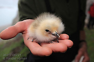 Biologist holds newly-hatched chick during field research on kittiwake colony at Blomstrand island; Kongsfjorden, Svalbard.