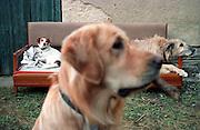 Portrait von Golden Retriever Lemmy. Im Hintergrund ein Mischlings-hund (links) und ein Irischer Wolfshund (rechts). Der Golden Retriever ist ein intelligenter, freudig arbeitender Hund, dem auch extreme, nasskalte Witterungsbedingungen nichts ausmachen. Dem steht allerdings eine relativ starke Empfindlichkeit hinsichtlich hoher Temperaturen gegenüber. Grundsätzlich ist die Rasse ruhig, geduldig, aufmerksam und niemals aggressiv.<br /> <br /> Golden Retriever Lemmy.