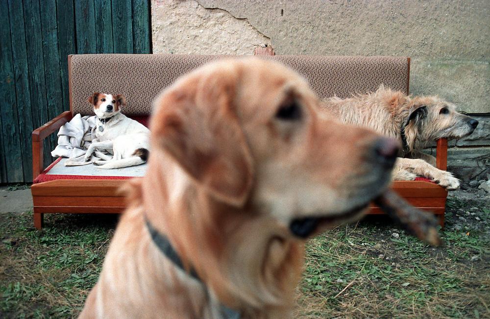 Portrait von Golden Retriever Lemmy. Im Hintergrund ein Mischlings-hund (links) und ein Irischer Wolfshund (rechts). Der Golden Retriever ist ein intelligenter, freudig arbeitender Hund, dem auch extreme, nasskalte Witterungsbedingungen nichts ausmachen. Dem steht allerdings eine relativ starke Empfindlichkeit hinsichtlich hoher Temperaturen gegen&uuml;ber. Grunds&auml;tzlich ist die Rasse ruhig, geduldig, aufmerksam und niemals aggressiv.<br /> <br /> Golden Retriever Lemmy.
