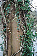 Maidenhead, United Kingdom.  General View, Ivy climbing tree trunk. Raymill Island banks of the River Thames. <br /> <br /> Friday  03/02/2017 <br /> <br /> © Peter SPURRIER,<br /> <br /> Leica Camera AG  LEICA M (Typ 262)  1/24 sec.  mm 4.8 100 ISO.  26.9MB