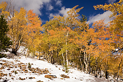 Red touches in golden aspens - French Creek Road, Breckenridge, Colorado Rockies.