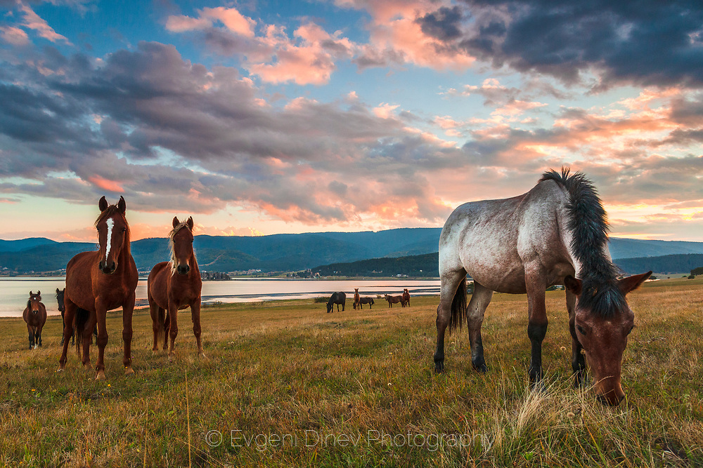 Horses graze by the lake at the sunset