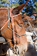 Oct. 6, 2008 -- GRAND CANYON NATIONAL PARK: A mule tied in the corral on the south rim of the Grand Canyon National Park in northern Arizona. Photo by Jack Kurtz