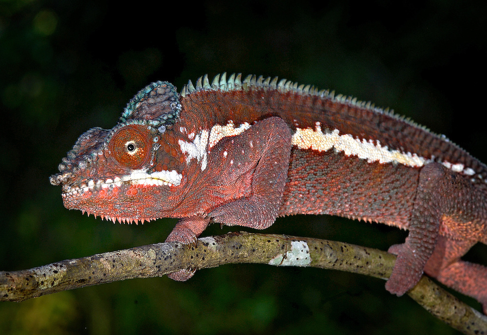 Pink Panther Chameleon