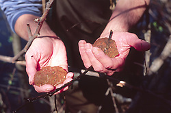 Monument Ecologist Charlie Crisfulli Holds Northwestern Salamander (Ambystoma gracile) Egg Sacks, Mt. St. Helens National Volcanic Monument, Washington, US, March 2005