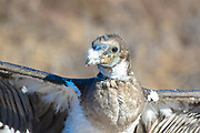 Frigatebird (Juvenile)