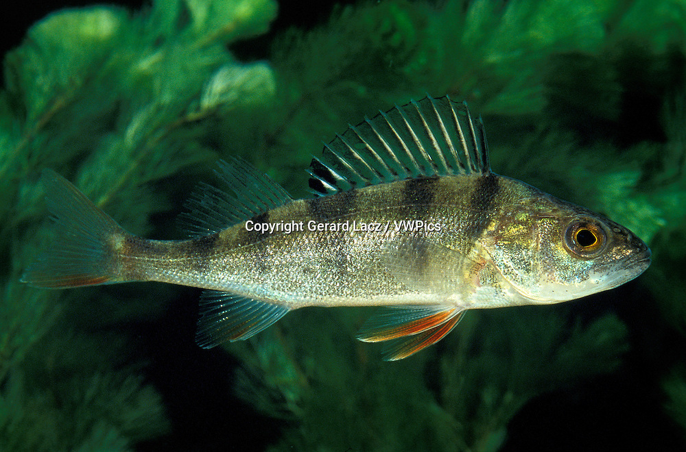 European Perch, perca fluviatilis