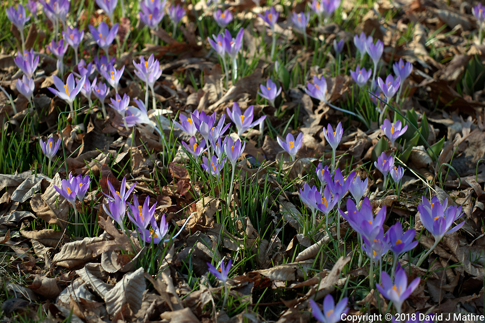 Purple Crocus Flowers. Winter Backyard Nature in New Jersey. Image taken with a Leica CL camera and 60 mm f/2.8 lens (ISO 100, 60 mm, f/4, 1/160 sec).