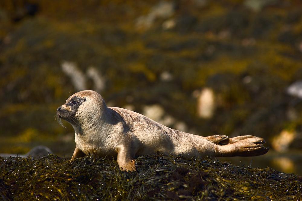 Seal on rocks in Flodabay, Harris, Scotland