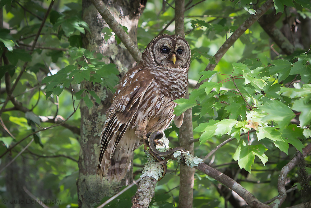 Barred owl  with a snake, in the Atchafalaya Basin.