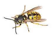 German Wasp - Vespula germanica