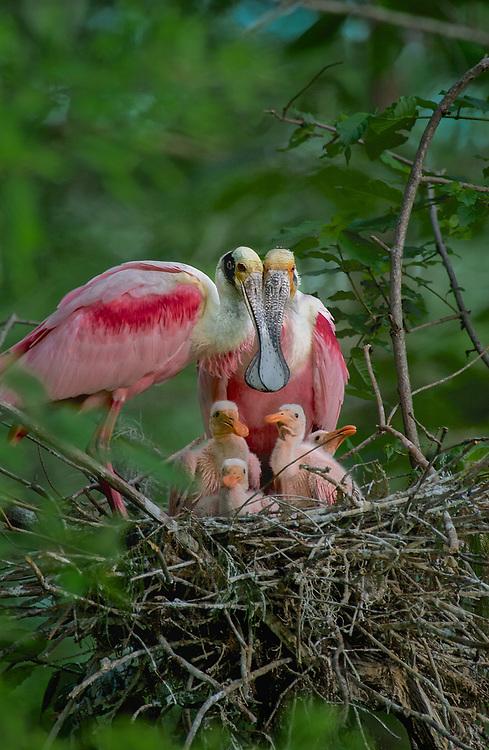Reoseat Spoonbill Family