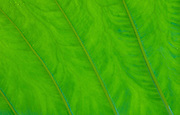 Taro leaf detail; Hana Coast, Maui, Hawaii.