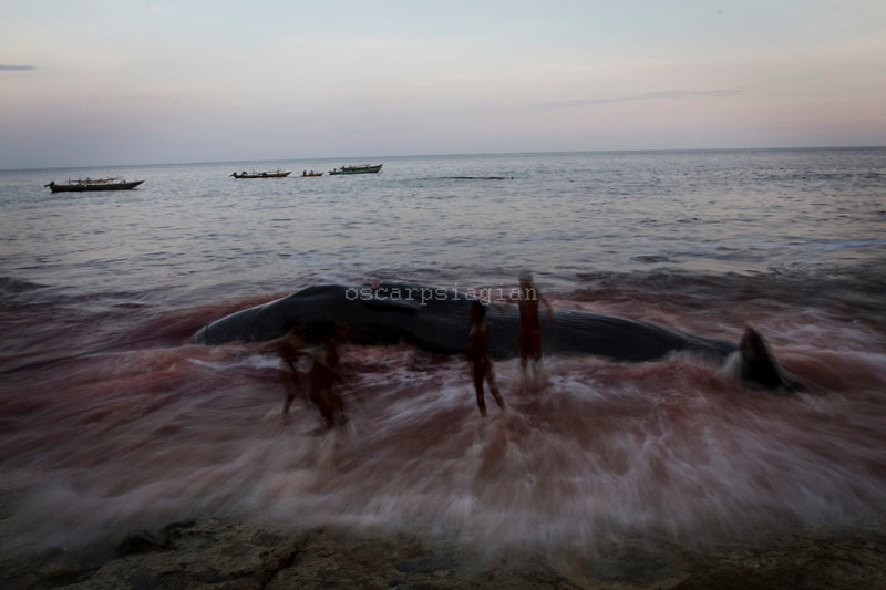 kids playing with the dead sperm whale on Lamalera Beach, East Nusa Tengggara, Indonesia. Residents in the lamalera village, hunting sperm whales to provide meals for the entire village and part of the lembata island where the village is located..