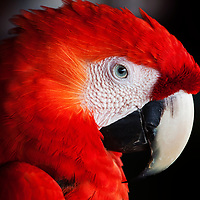 Intimate portrait of a scarlet macaw, Carate, Costa Rica, 2011