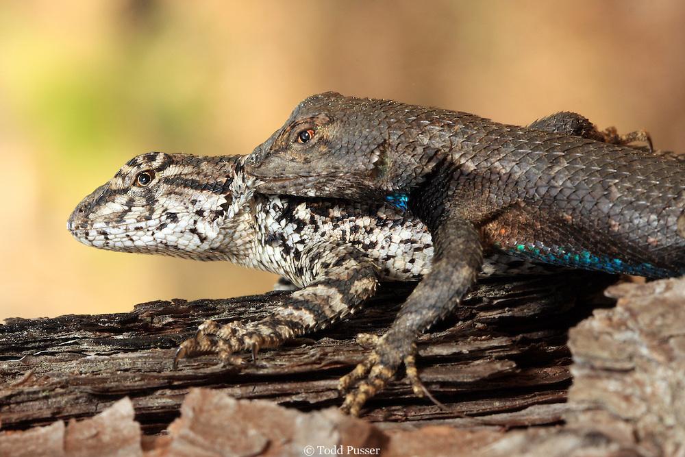 Male eastern fence lizard (Sceloporus undulatus) biting neck of female while mating. Sandhills Gamelands, North Carolina