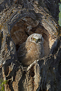 Great horned owl chick at nest cavity