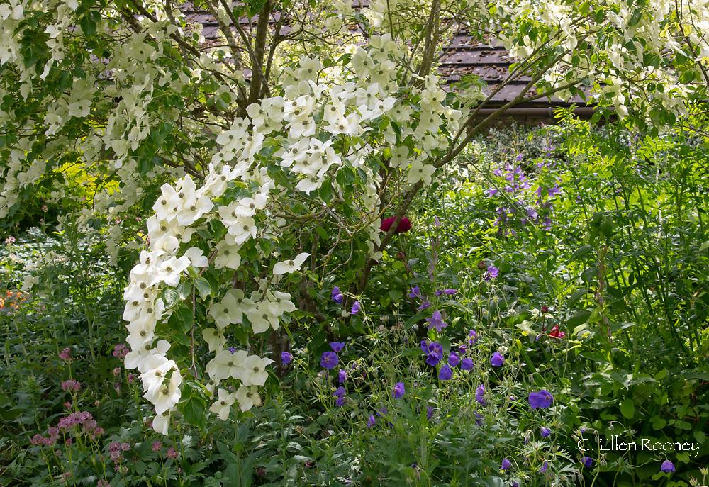 Cornus kousa and hardy blue geraniums at Stockton Bury Gardens, Kimbolton, Leominster, Herefordshire, UK