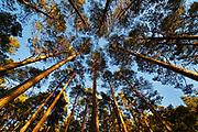 Scots Pine forest , looking skywards towards forest canopy. Cairngorm National Park, Highlands, Scotland, UK