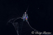 a cydippid ctenophore or comb jelly, aka sea gooseberry, a translucent gelatinous organism with colors produced by the diffraction of light through cilia (fine hair-like structures) on the comb rows; possibly Callianira bialata or Euplokamis sp., photographed at night in surface waters of deep ocean off Kailua Kona, Hawaii, USA ( Central Pacific Ocean )