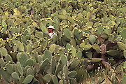 "A worker wearing heavy gloves picking the fruit of the Nopal cactus ""Tunas"". Near Puebla, Mexico."