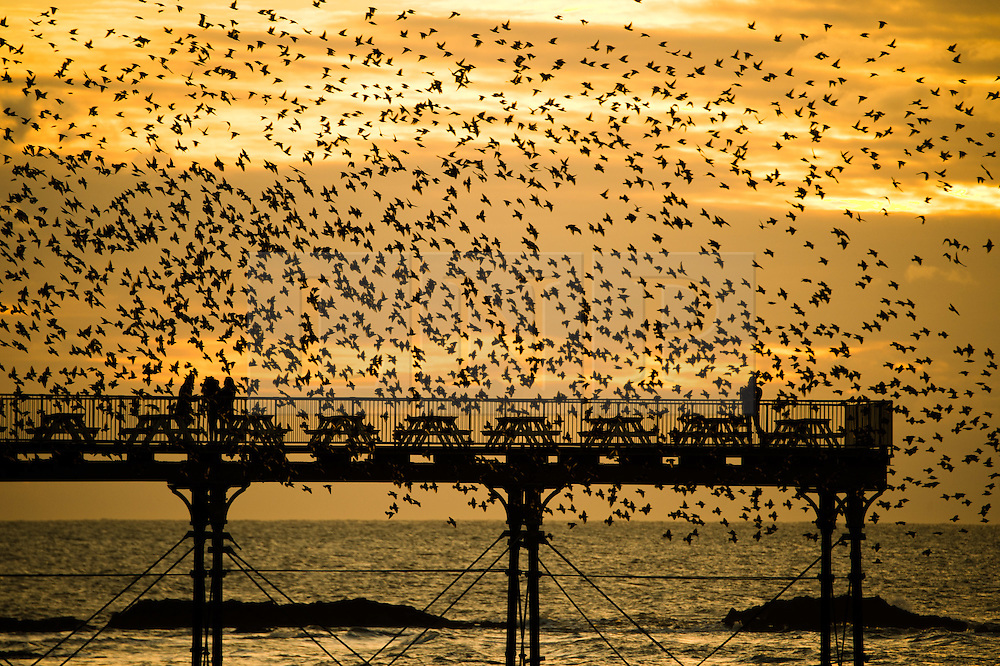 © London news pictures. 14/02/2016. Aberystwyth Wales,UK Birdwatchers and photographers are surrounded by a flock of thousands of tiny starlings as they fly in huge murmurations over  the seaside pier as the sun sets over Cardigan Bay  at  Aberystwyth on the west wales coast. The birds  roost on the cast iron legs of the victorian-era pier, one of only a handful of urban roosts in the UK. Photo credit: Keith Morris/LNP