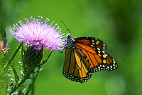 Monarch Butterfly  on a Thistle Bloom at the Sourland Mountain Preserve. Image taken with a Nikon D4 and 300 mm f/2.8 VR lens (ISO 100, 300 mm, f/2.8, 1/1000 sec). .