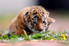APR 06 2014 Siberian tiger cub