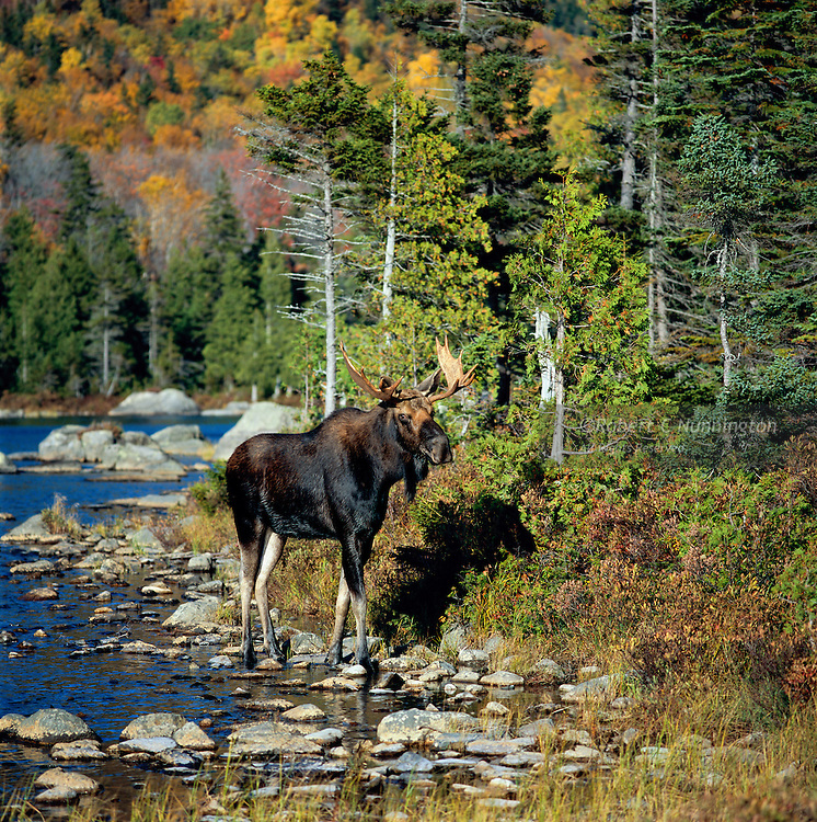 A young bull  moose poses against the glorious backdrop of Baxter State Park in the fall, Maine, USA