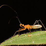 Reduviidae assassin bug in Phu Khieo Wildlife Sanctuary, Thailand.