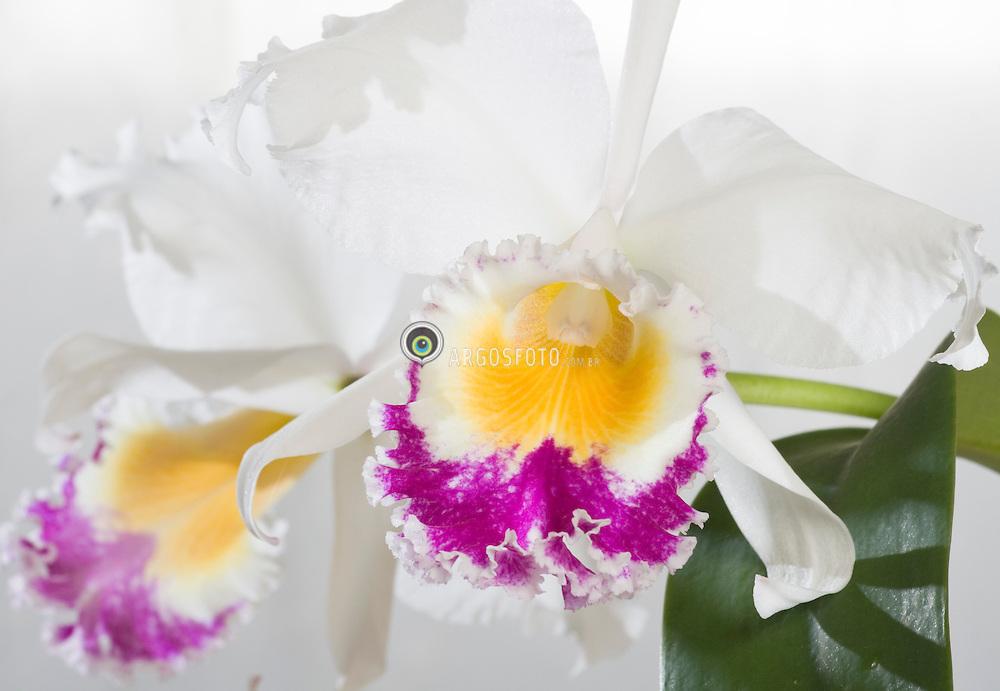 Sao Paulo, SP, Brasil. 24/02/2005.Orquidea, familia das Orchidaceae / Orchids, Orchidaceae family. Brassolaelio cattleya, Brassavola, Laelia e Cattleya. Blc Cheung's Beauty..Foto© Adri Felden/Argosfoto