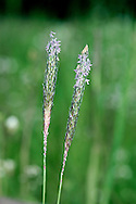 BLACK-GRASS Alopecurus myosuroides has a slender, tapering inflorescence. Arable weed. Locally common, S and E England.