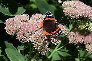 Atalanta vlinder op hemelsleutel - Red Admiral butterfly on Stonecrop