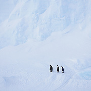 Emperor Penguin (Aptenodytes forsteri) adults at Riiser-Larsen Ice Shelf. Antarctica